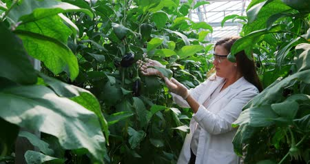 ученый : Female scientist examining aubergine in greenhouse 4k