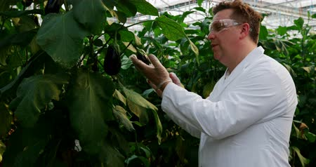 vědec : Side view of male scientist examining aubergine in greenhouse 4k