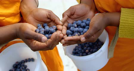 fresh produce : Close-up mid section of workers holding blueberries in hand, with white buckets containing blueberries around their waist. In slow-motion Stock Footage