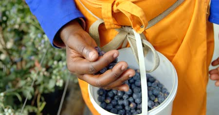 mid section : Close-up mid section of ethnic worker wearing bright clothing putting freshly picked blueberries in blue bucket. In slow-motion