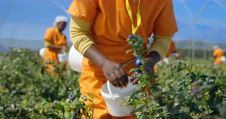 jagoda : Front view of ethnic female worker concentrating on picking ripe blue blueberries and putting them in a white bucket in blueberry farm on a sunny day. In slow motion. View focus starts on blueberry branch with focus change to female worker