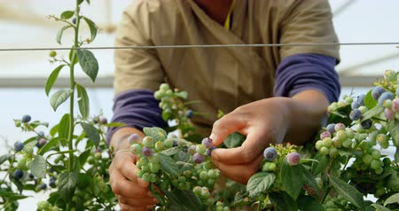 jagoda : Close-up op ethnic female worker concentrating on picking blueberries in blueberry farm. In slow-motion. Focus starts on female hands picking blueberries from blueberry branch, with focus change to the female workers face Wideo