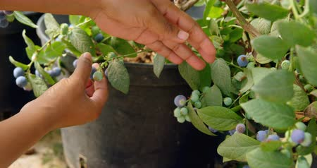 borůvka : Close-up of ethnic workers hands picking ripe blueberries from branch in blueberry farm. In slow-motion Dostupné videozáznamy