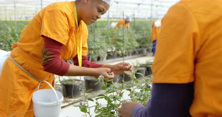 jagoda : Multi-ethnic female workers in work clothes picking blueberries in greenhouse at blueberry farm.