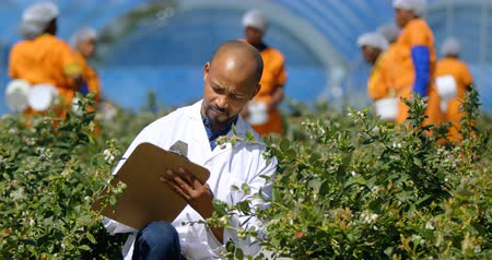 jardinero : Front view of a bald man writing on clipboard in greenhouse at blueberry farm on a sunny day, controlling quality.