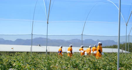 aisles : Distant side view of workers in orange work clothes walking in the aisles of a blueberry farm. Multi-ethnic group, mixed race people. Stock Footage