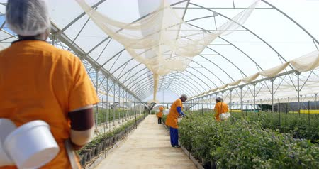 aisles : Female workers in work clothes picking blueberries in blueberry farm and walking in the aisles of the greenhouse. Multi-ethnic group, mixed race people. Stock Footage