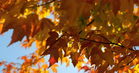 bujný : Close-up of autumn leaves. Orange autumn leaves on a sunny day 4k Dostupné videozáznamy