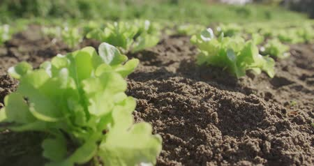 plodina : Close up of rows of young plants on an organic farm, depth of field Dostupné videozáznamy