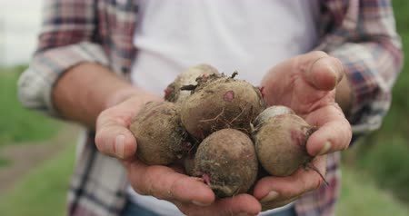 kruk : Hands of a mature Caucasian male farmer in an organic agricultural field, holding beetroot freshly pulled out of the ground