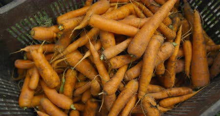 опыт : Close up of freshly pulled out of the ground carrots in a box on an organic farm Стоковые видеозаписи