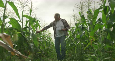 experiência : Front view of a mature Caucasian male farmer in an organic agricultural field, holding a tablet computer and checking maize