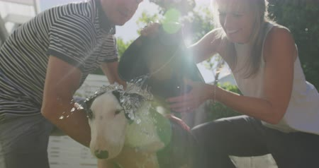 ajoelhado : Front view close up of an adult Caucasian couple kneeling and washing their pet Bull Terrier dog in a tin bath in the garden on a sunny day, pouring a bucket of water over the dog to rinse it, backlit, slow motion