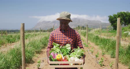 patlıcan : Portrait of a happy African American man standing in a sunny farm field holding a box of fresh organic vegetables, smiling, slow motion