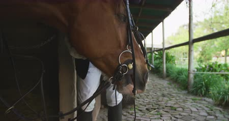 terbiye : Front view mid section of a smartly dressed man stroking the head of a chestnut Dressage horse while putting a bridle on it at a stable, in preparation for horse riding, slow motion Stok Video