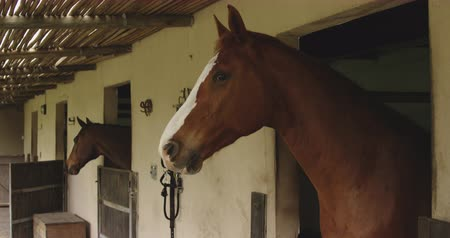 terbiye : Side view of a chestnut and a bay Dressage horse looking out of stable doors at a stable block, slow motion
