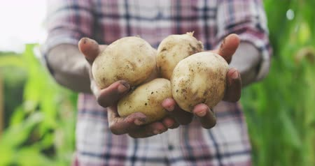 batatas : Front view mid section of an African American man enjoying time at a garden, presenting fresh peeled potatoes, in slow motion Stock Footage