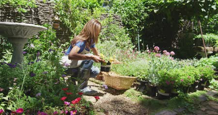 ajoelhado : Side view of a Caucasian woman wearing an apron kneeling in a sunny garden, looking at plants, selecting a potted plant and putting it in a basket, in slow motion