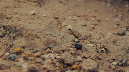 formicidae : Closeup shot of a group of black ants walking on dirt Stock Footage