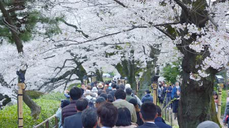 třešně : Tokyo, Japan - April 2019: people Crowd Tourists Cherry Blossom Ueno Park Tok Dostupné videozáznamy