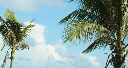 clima tropical : Beautiful Tropical Coconut Palm Tree On Sky Background Stock Footage