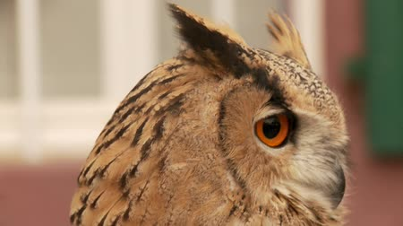 diurnal : Owl Stock Footage