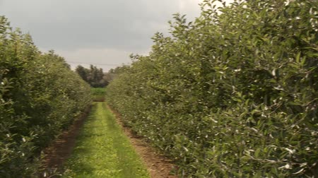 plantio : video footage of a apple plantation