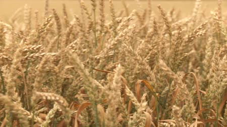 arejado : video footage of a grainfield in spring