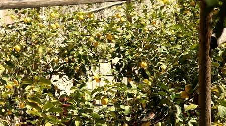 plantio : video footage of lemon trees Stock Footage