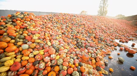 atık : Video footage of a food over production of pumpkins Stok Video