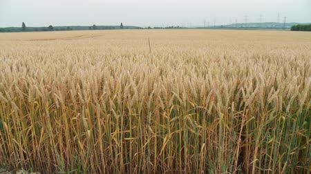 milharal : video footage of a Grainfield in summer, germany Stock Footage