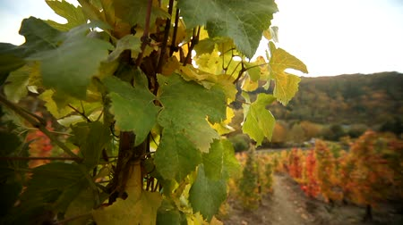 winnica : video footage of a Vineyard in germany at the river Ahr