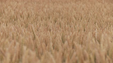 cropland : video footage of a Grainfield in summer, germany Stock Footage