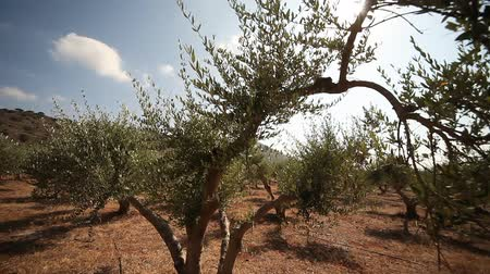 plantio : video footage of a olive plantation in crete, greece