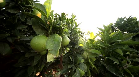 plantio : video footage of a Lemon tree in greece