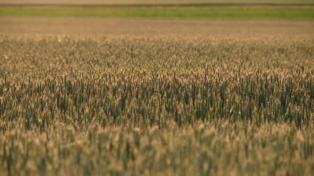 milharal : video footage of a grainfield in germany. Stock Footage