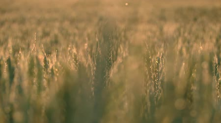 cropland : video footage of a grainfield in germany. Original Available in 4:2:2  10 bit  100 Mbit Stock Footage
