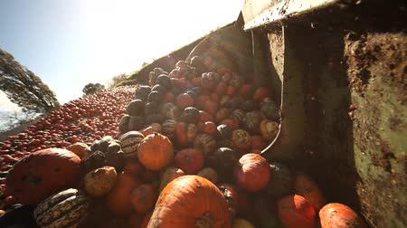 trator : Video footage of a loading food over production of pumpkins with a tractor Vídeos