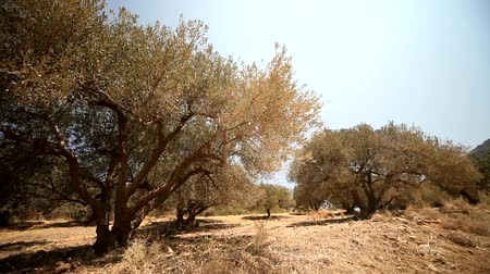 európa : video footage of a olive plantation in crete, greece