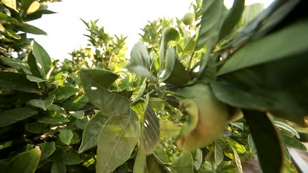 cytryna : video footage of a Lemon tree in greece
