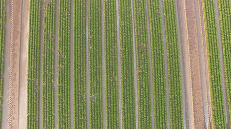 organic : Organic farming of lettuce. Aerial view video in 4K UHD