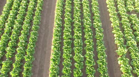 marul : 4K aerial video footage of a lettuce field with plants in file in germany Stok Video