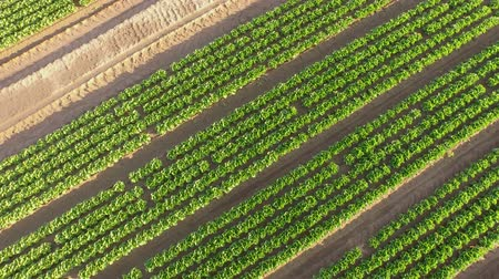 marul : Market gardening aerial from a lettuce field in Germany Stok Video