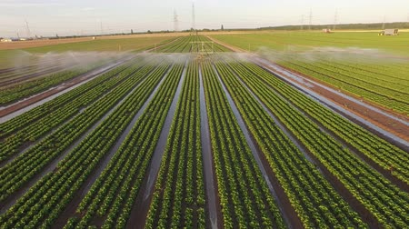 Aerial video footage of industrial farming on a lettuce field. Watering with a sprinkling machine.