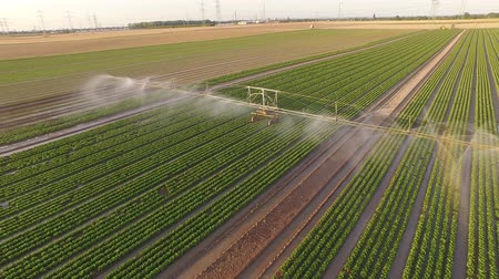 UHD 4K Aerial video of watering a field with lettuce in rows. In summer in germany