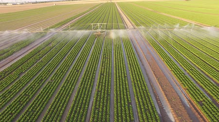 polního : Aerial video footage from germany: Watering a lettuce field in summer