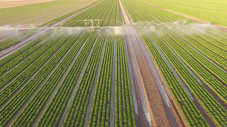 Industrial farming 4K Aerial video footage: Irrigation of a lettuce field in Europe in Summer.