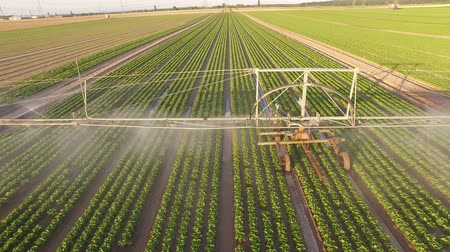 UHD 4K Aerial video of watering a salad field in summer in germany