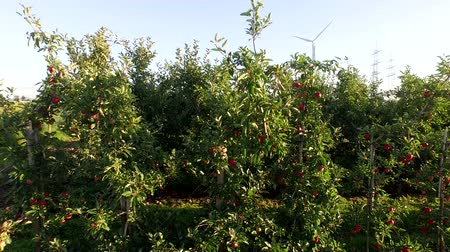 Aerial video footage of a apple plantation in germany