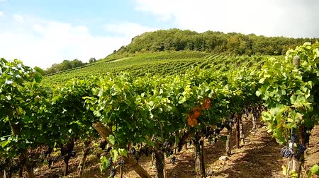 video footage of winegrowing in germany near Bonn. Here the region of the river Ahr.